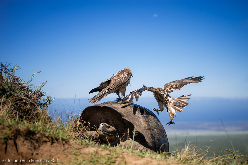 Another hawk tries to rest on the same tortoise without success