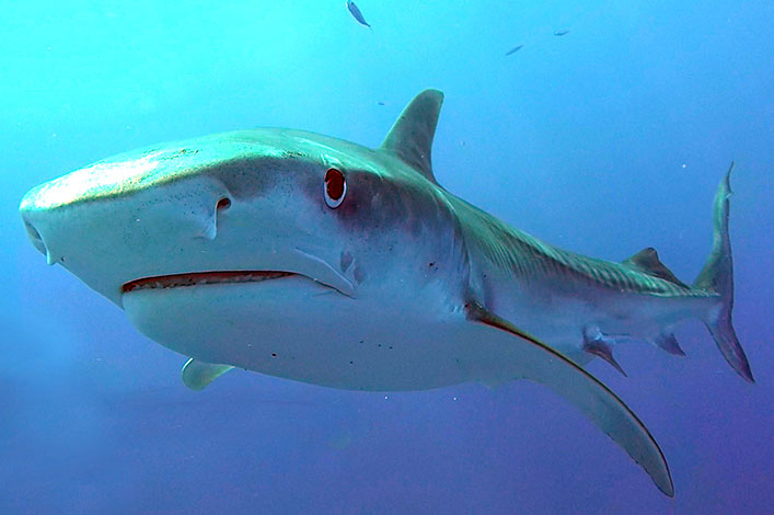 Tiger Sharks: Predation at the highest order and its relationship with Galapagos