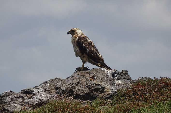The galapagos hawk (Buteo galapagoensis) we saw during our stay on South Plaza