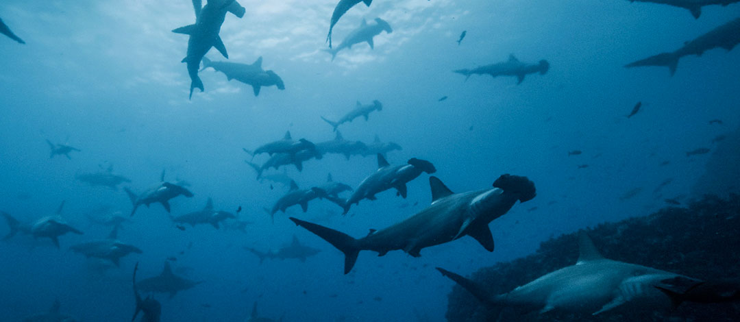 A large shiver of scalloped hammerhead sharks at Wolf Island