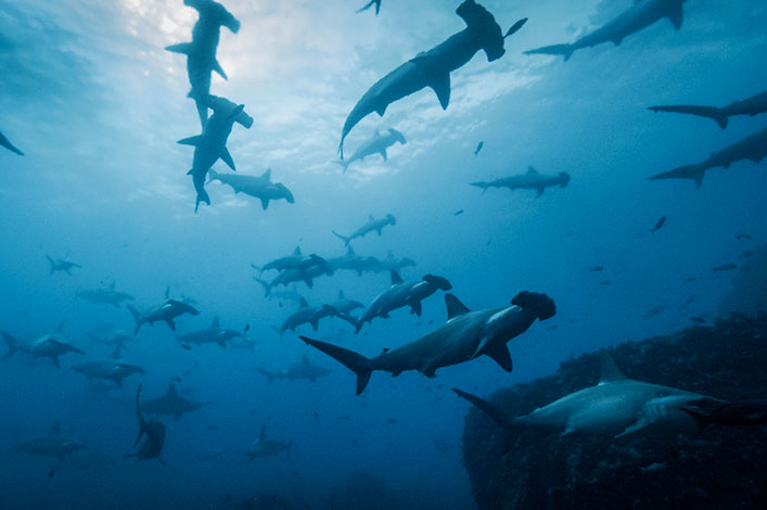 What's on a Hammerhead Shark Menu at the Galapagos Islands?