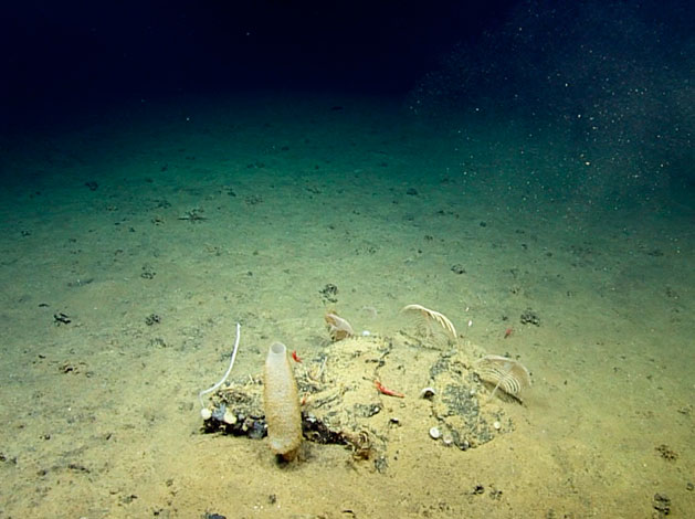 Deep sea sponges, corals and arthropods surrounded by a xenophyophore bed
