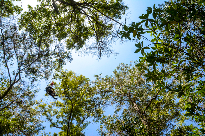 Jorge Jimenez climbs up black mangroves in order to protect mangrove finch nestlings from parasitism from the introduced fly larvae P. downsi. This intensive management in the field enables the team to protect the nestlings in their natural habitat