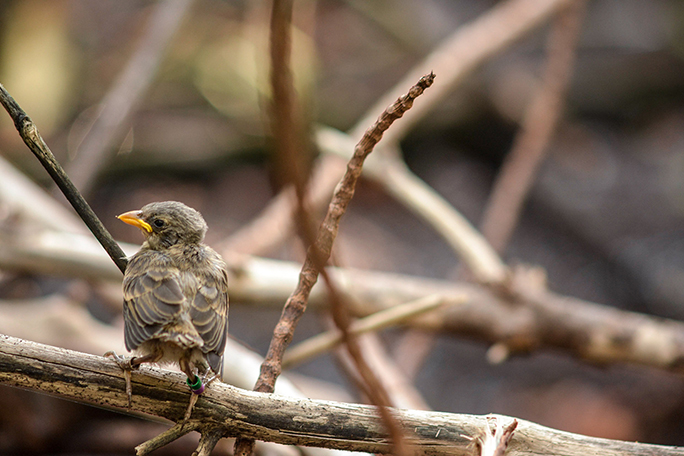 Mangrove finch nestling with its distinctive colour rings
