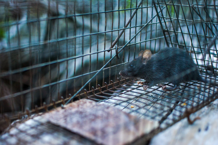 Invasive black rat population control