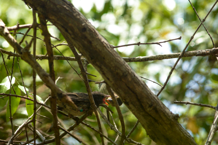 Adult mangrove finch feeding its nestling