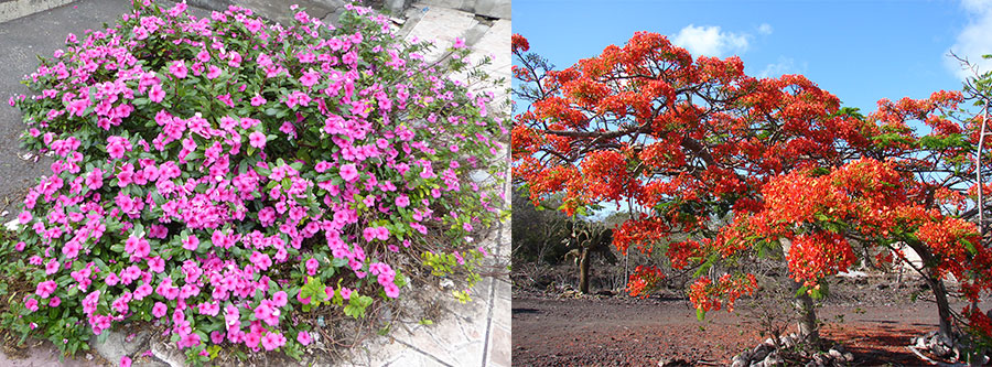 "Catharanthus roseus, ""Chavelas"" (left) and Delonix regia, ""falsa acacia""(right) introduced in Galapagos. (P.  Jaramillo, Guézou, Mauchamp, & Tye, 2017)"