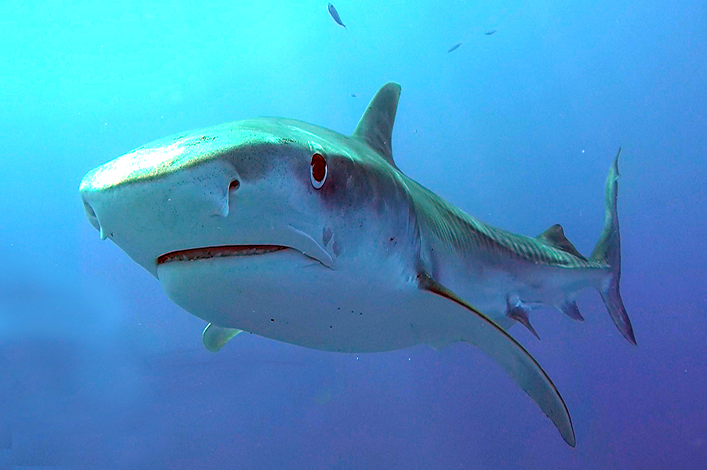 Scientists investigates tiger sharks' diet in Galapagos
