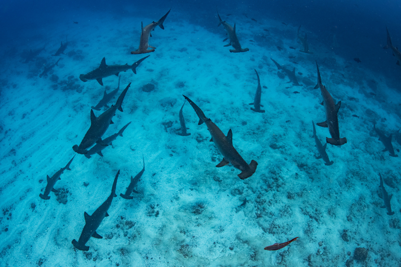 Thousands of pregnant scalloped hammerhead sharks aggregate every year around Darwin and Wolf Islands, located to the north of the GMR