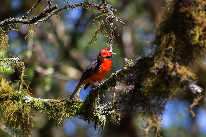 Recent monitoring of the endangered Little Vermilion Flycatcher on Santa Cruz, Galapagos shows encouraging results