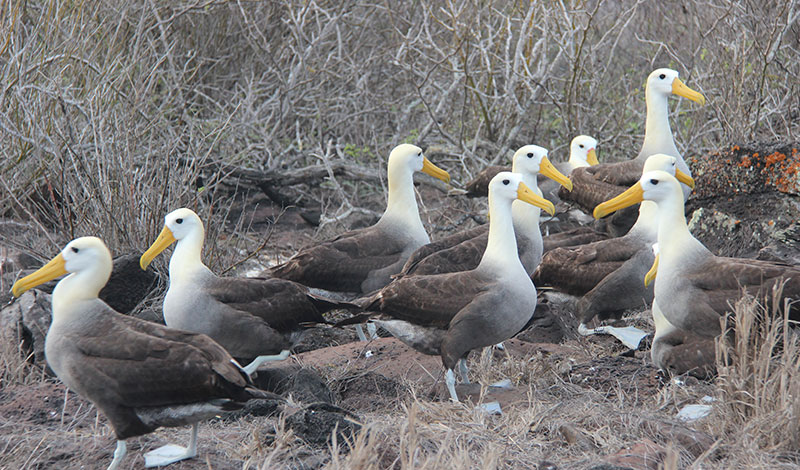 Galapagos Albatross Day