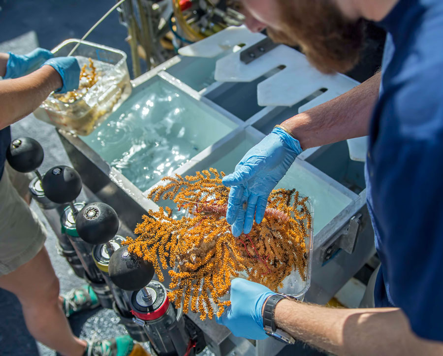 Researchers carefully handle voucher specimens collected during one of the ROV dives. Credit: Ocean Exploration Trust/Nautilus Live.