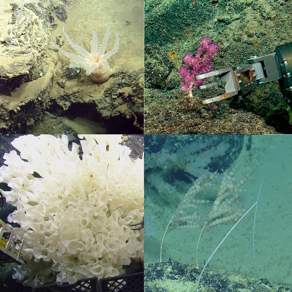 Examples of organisms collected and studied by an international team of scientists include a variety of deep-sea of octocorals and sponges Credit: Ocean Exploration Trust/Nautilus Live.
