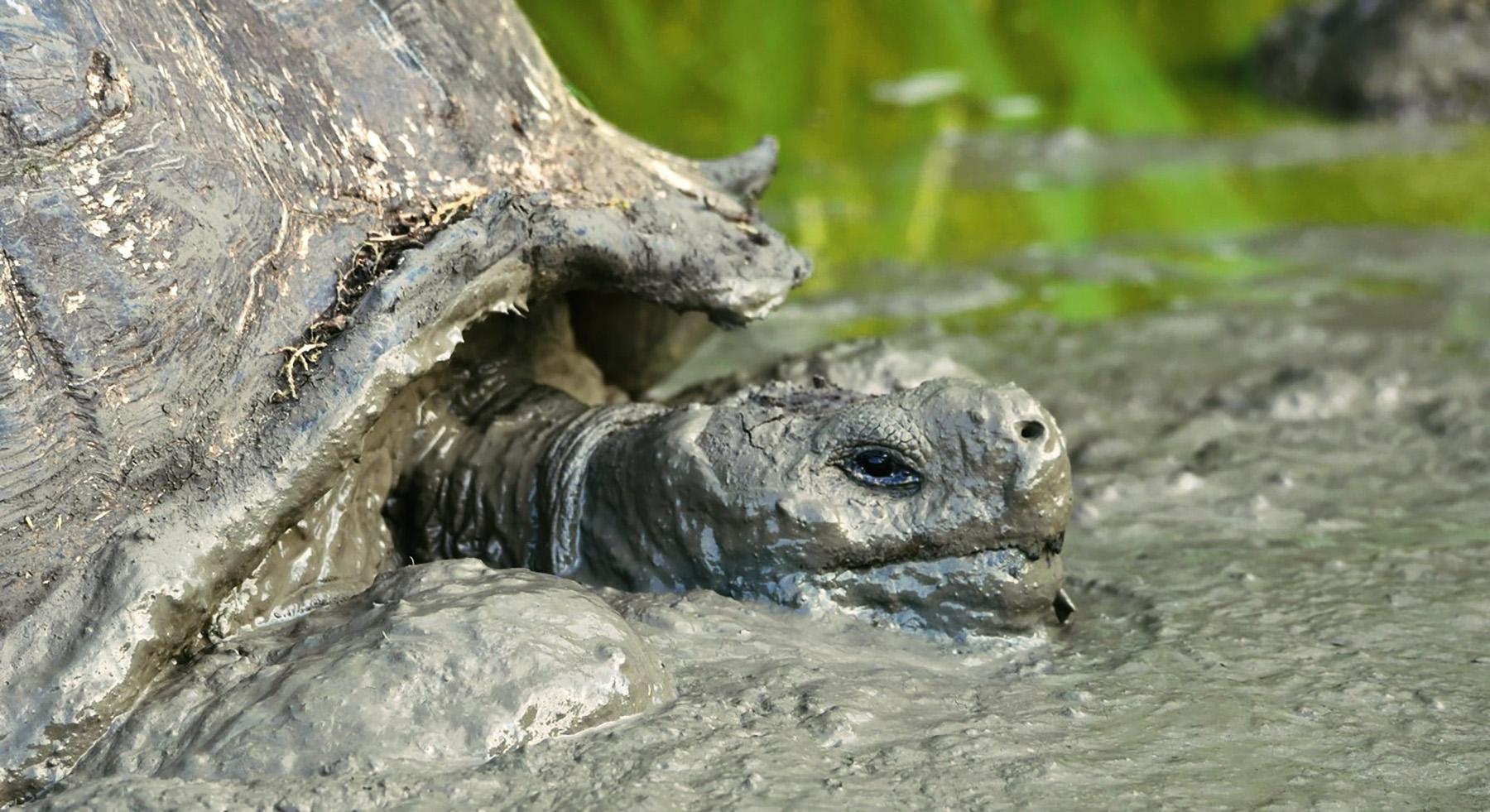 Muddy tortoise.