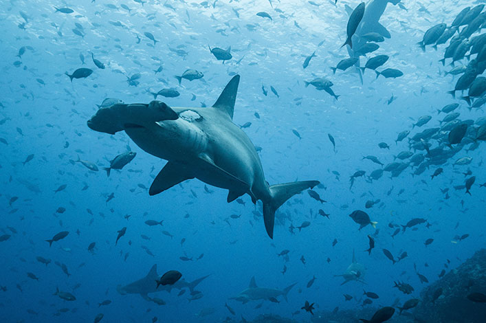 Migration of pregnant hammerhead shark between Galapagos and Isla del Coco documented from space in real-time