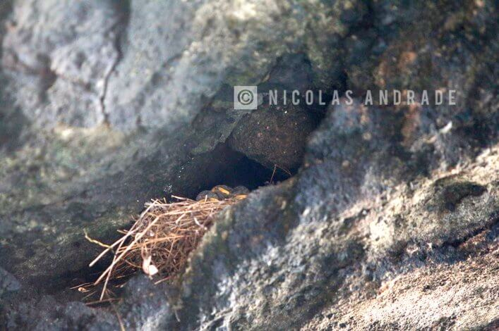 Galapagos martin nest photographed in march, 2017 in Tagus.