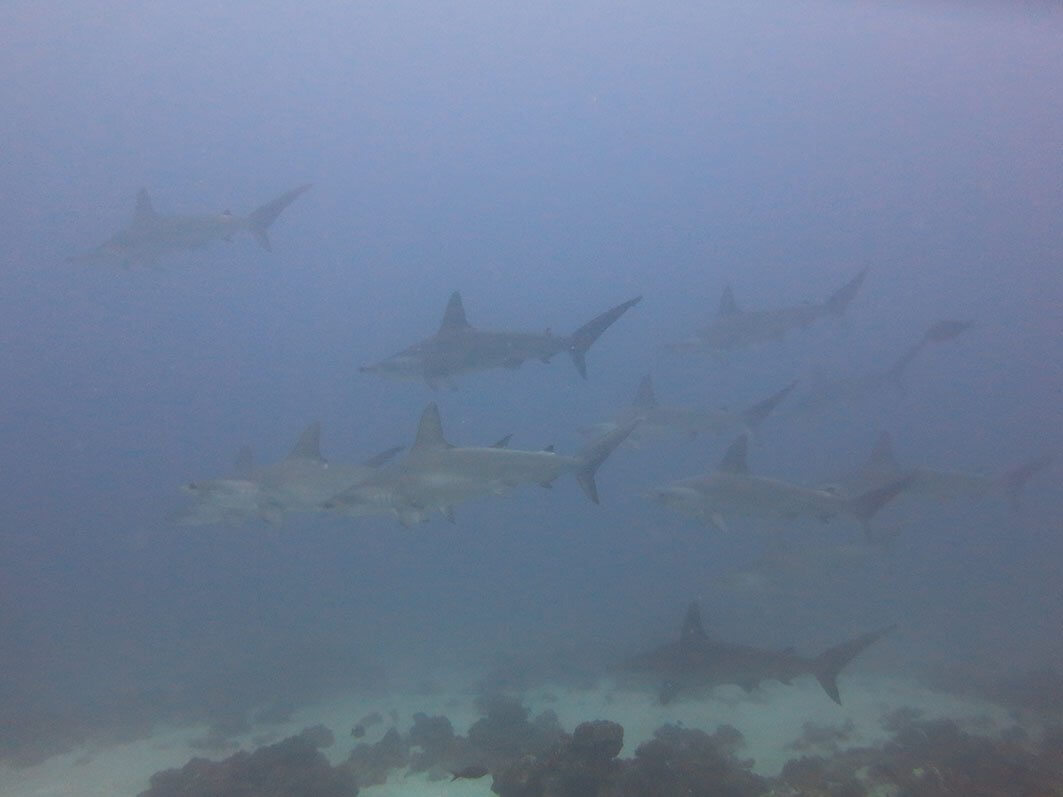 Observation of hammerhead sharks near the coral at Islote Pájara during the investigation.