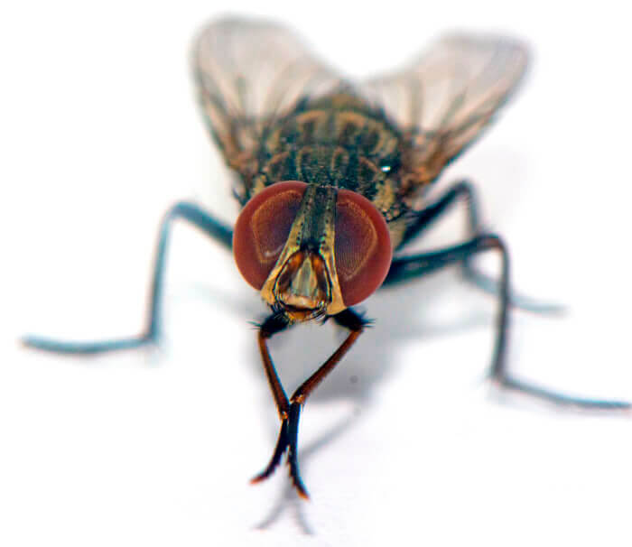 Philornis Downsi fly