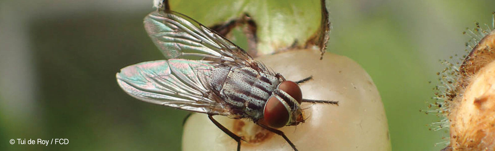 Control of the Invasive Parasitic Fly Philornis downsi