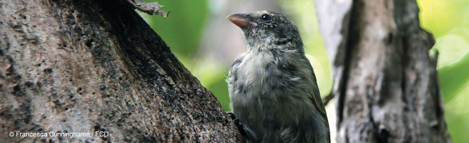 Protection and Recovery of Mangrove Finch Population