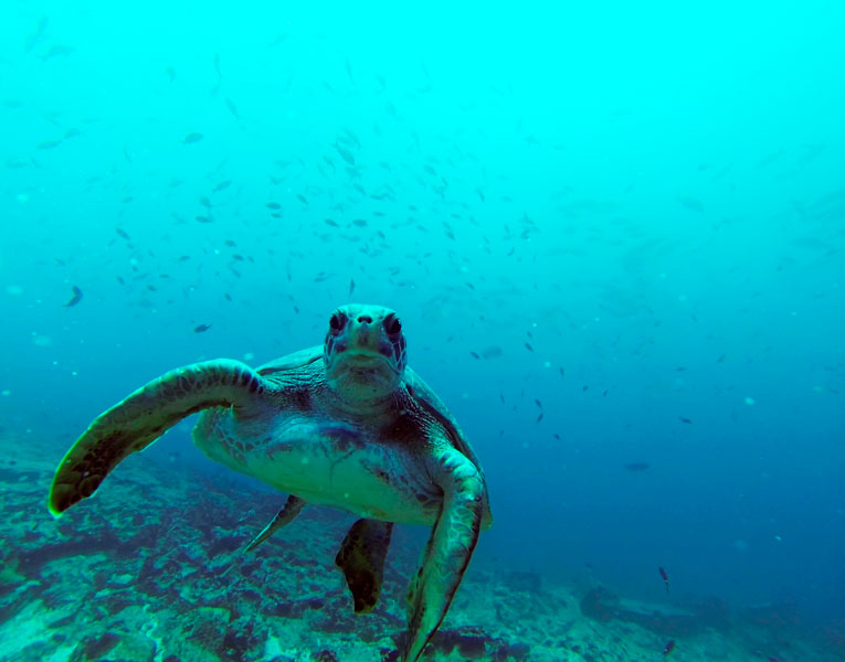 The Galapagos Islands provide nesting beaches for the second most important green turtle nesting colony in the region.
