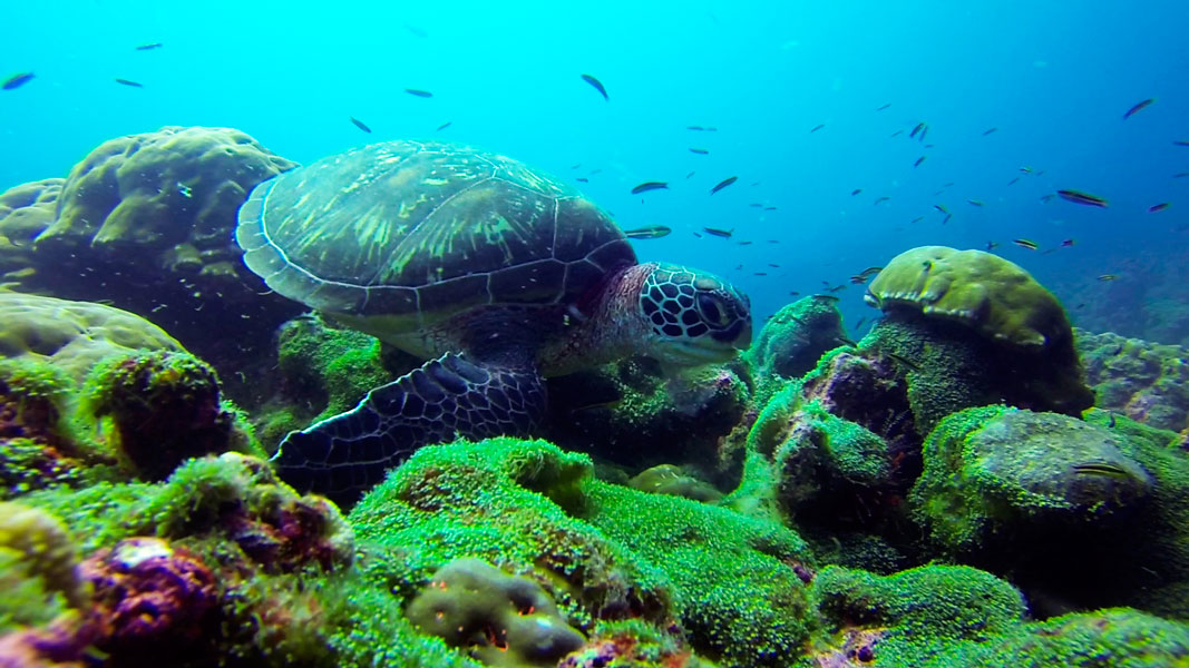 The Galapagos archipelago is of great importance at the regional level for green turtles.
