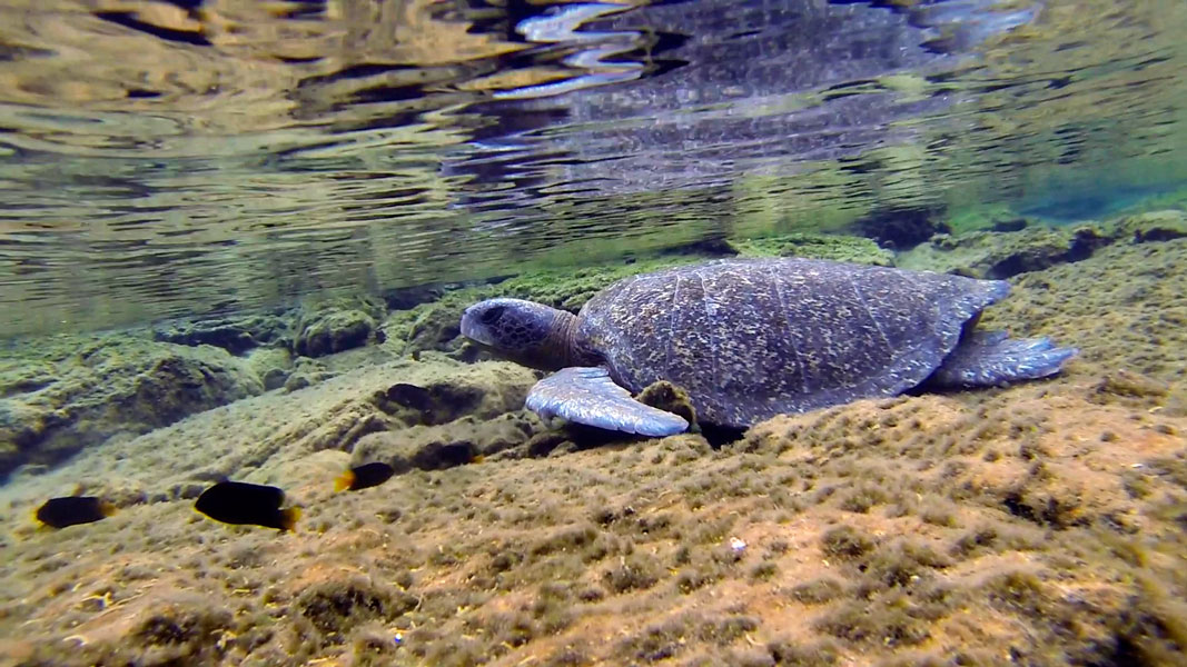 Turtles look for sheltered and shallow areas to rest.