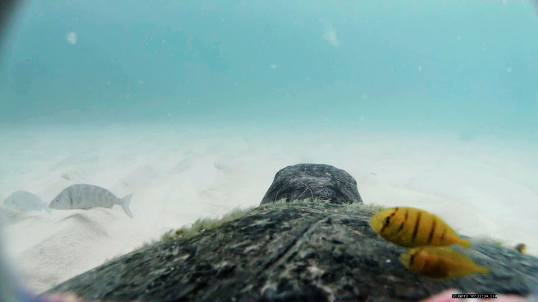 Image taken underwater, using the device installed in the turtle carapace. It shows the turtle resting on the sandy bottom, the morning after having deposited a nest on a nearby beach.